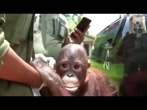 Baby Orangutan Rescued From The Home Of Villagers Who Kept It As A Pet Tied By The Neck (Bayi Orang)