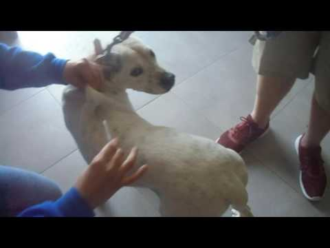 How to inject a dog receiving glucantime LEISHMANIASIS LEISH