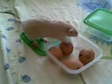 Как крыса ворует яйца