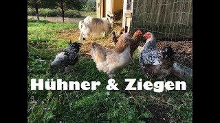 Terror in der Ziegen-Hühner-WG - Hähne ziehen aus - Küken ziehen ein - Glucke entglucken