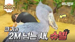이준이 2m 넘는 새 봤다는데 라스MC들이 안믿은 바로 그 슈빌! | SBS 동물농장x애니멀봐