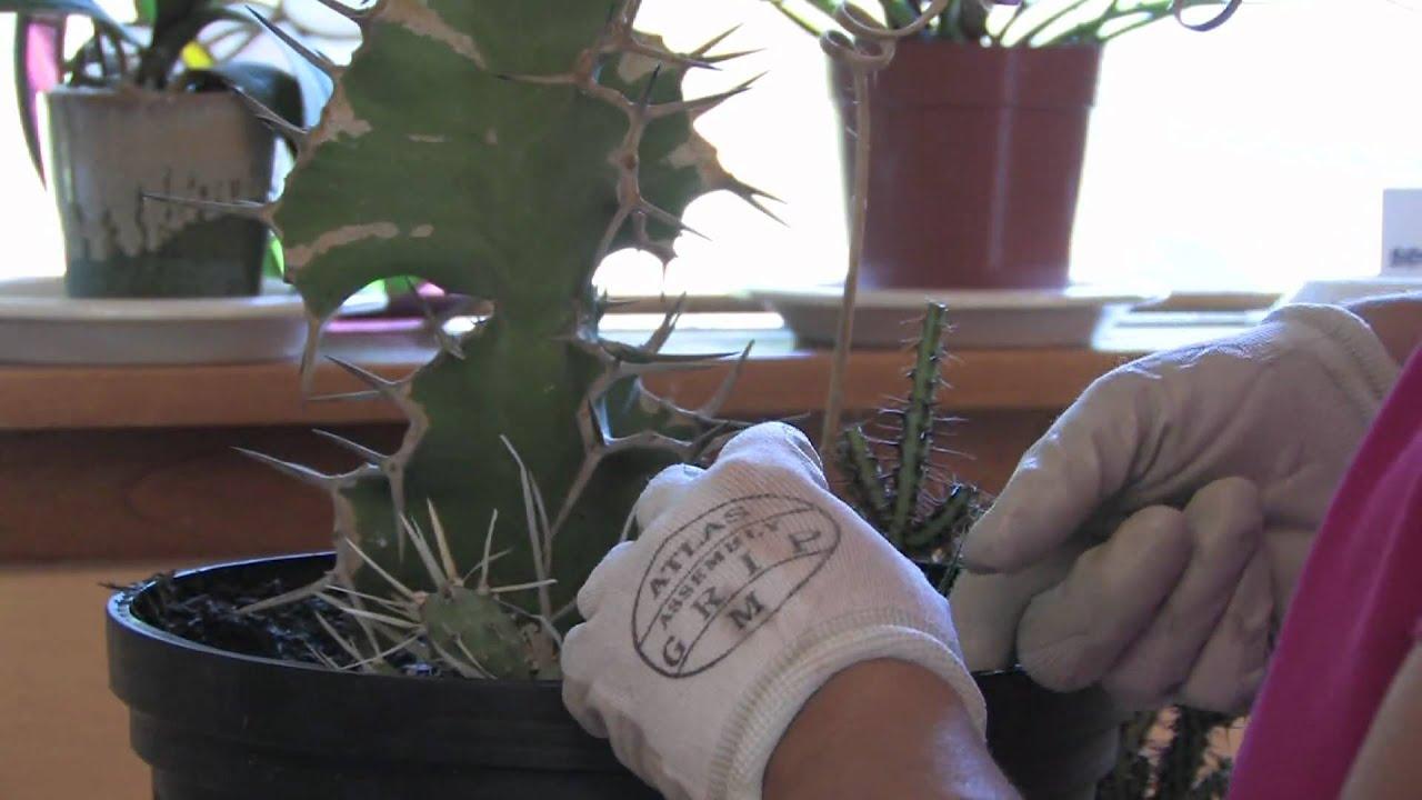Flower Plant Garden Care How To Fix A Broken Cactus Youtube