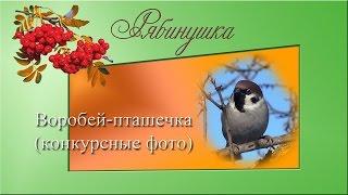 Воробей - пташечка (конкурсные фото)