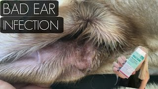 How I fixed My Labs Horrible Ear Infection!
