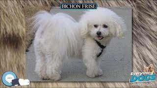 Bichon Frise  Everything Dog Breeds