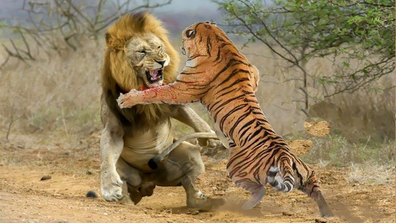 Lion vs Tiger Real Fight Animals Attack. Batallas Épicas De Animales