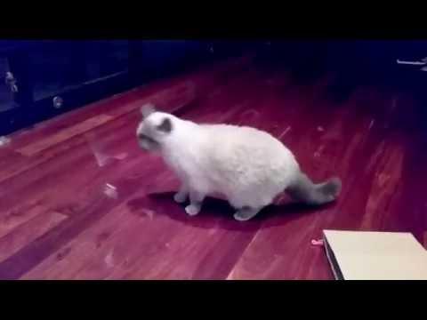 Very Upset Kitties! - PoathCats / PoathTV / Floppy Ragdoll Cats