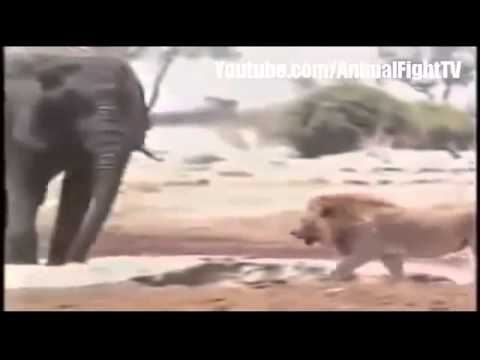 Lion Vs Elephant Real Fight To Death Animal Fight TV