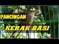 Suara Burung Kerak Basi Untuk Memancing Bahan Agar Cepat Bunyi  Mp3 - Mp4 Download