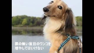 我が家の愛犬ミニチュアダックスフントのSOLは遺伝性の疾患である進行性...