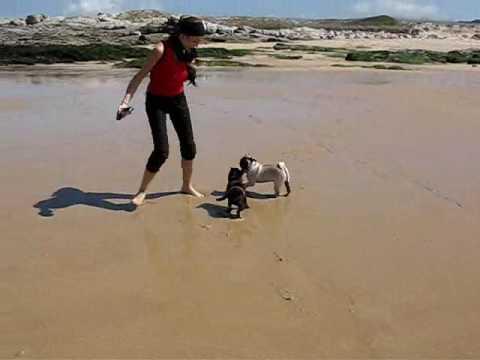 Tito, Gus, Sue, Torino y Fara (Carlino Pug playing beach) en la playa de Serán