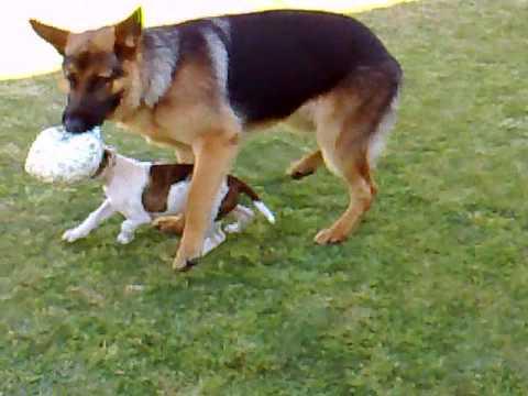 German Shepherd Vs American Bulldog Youtube