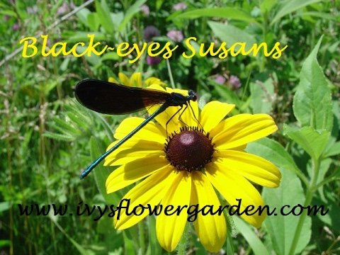 Black Eyed Susans Starting From Seed Part 1 Youtube