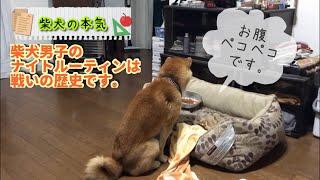 【柴犬】柴犬男子のナイトルーティーンは令和男子と違って命がけです。食えるかどうかの戦いこそが柴犬の本気【Shibainu】