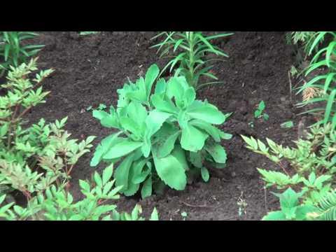 Очиток Видный ( Седум. Заячья Капуста). Самые Неприхотливые Растения Для Сада