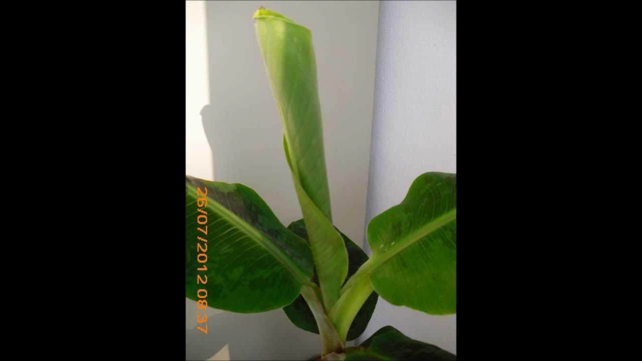 Ganz und zu Extrem Bananenbaum Blatt von innen - YouTube @DN_09