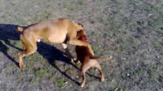 Staffordshire Bull Terrier (jessie) Vs. Boxer (muf) Play Fighting