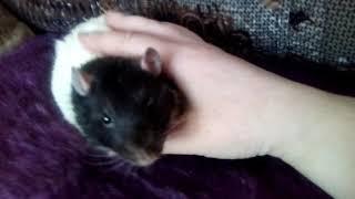 Крыса Путя общается с хозяйкой