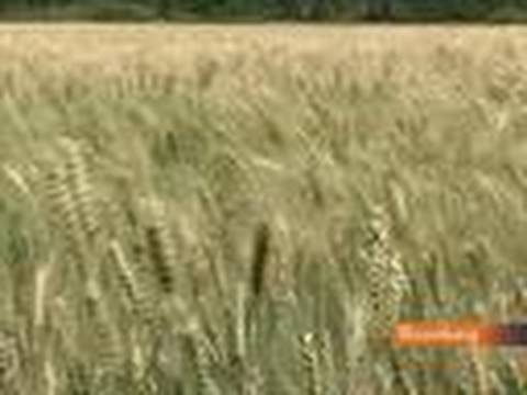 Russia's Soaring Wheat Exports Poised to Overtake U.S.