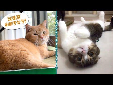 【ぽこうまプリン】猫友達の誕生日をお揃いのプレゼントでお祝いしました!