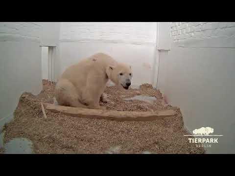 Baby-Eisbär sucht Mamas Nähe - Polar bear cub needs plenty of cuddles