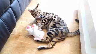 Bengal Cat vs Unicorn