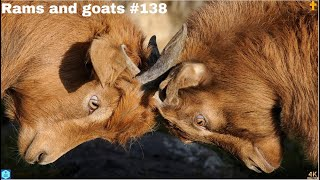 4K - Animal world - Rams and goats - the Netherlands - 2020 #138
