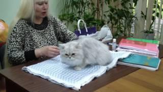 Демис Мирада Дель Мар - персидская шиншилла