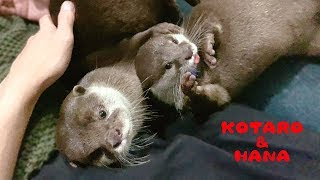 Otter Hana Always Wants To Play With Kotaro