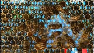 走近科学 《走近科学》 20120623 奥秘 蜂王之死