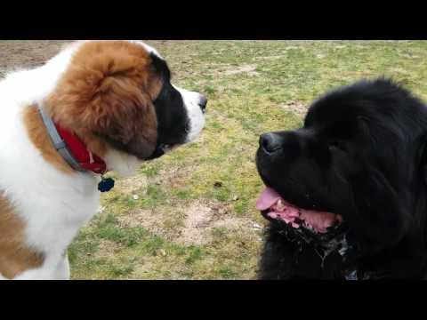 Newfoundland and Saint Bernard puppy