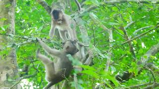 Pity baby Nanda And Some of Baby play on tree Dunky Fight mum, Baby near fallen.