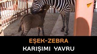 Rusya'da nadir melez bir hayvan doğdu: Zebra da değil eşek de ...