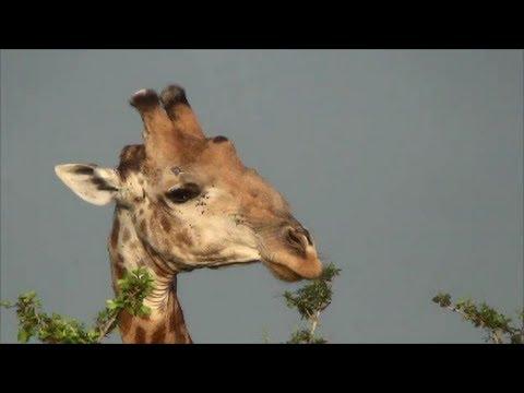 Giraffe Eating Tree Tops. Funny. Kruger National Park. South Africa
