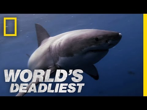 Great White Shark vs. Seal | World's Deadliest