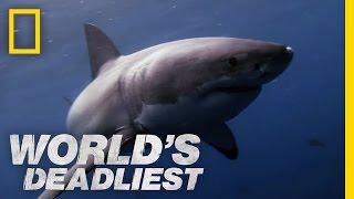 Great White Shark vs. Seal | World s Deadliest