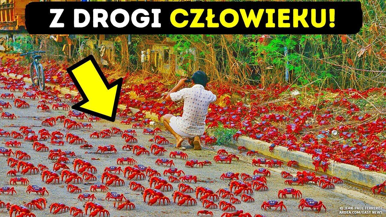 Download Ziemia czerwona od 100 milionów krabów i inne wyspy zdominowane przez zwierzęta