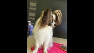 How to groom a Papillon dog Tips and Tricks