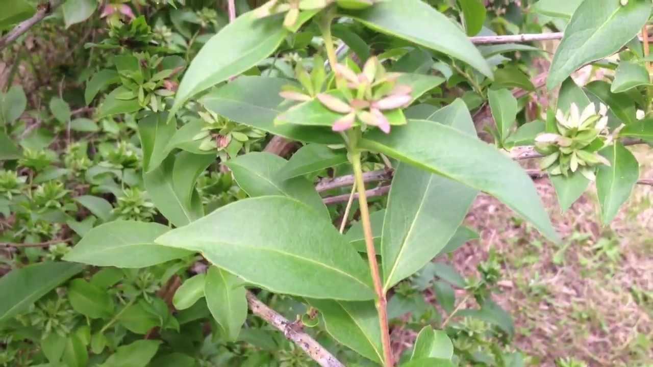 When To Prune Abelia Mosanensis Youtube
