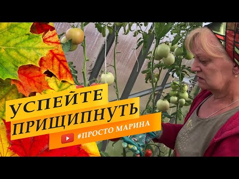Когда прищипывать помидоры, как обрезать верхушки помидор в теплице.