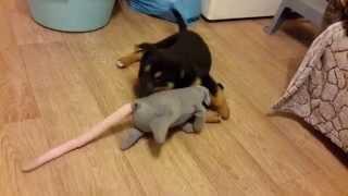 Щен Рекс vs Злобная Крыса