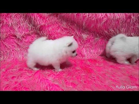 White German Spitz (Klein) puppies - Немецкий миниатюрный шпиц