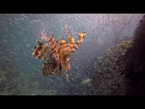 Lion Fish Underwater Video Red Sea