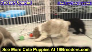 Cocker Spaniel, Puppies, For, Sale, In, Oklahoma City, Oklahoma, OK, Warr Acres, Guthrie, Weatherfor