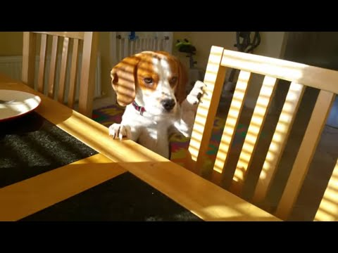 Funny dog wants to trade stolen toy for a breakfast