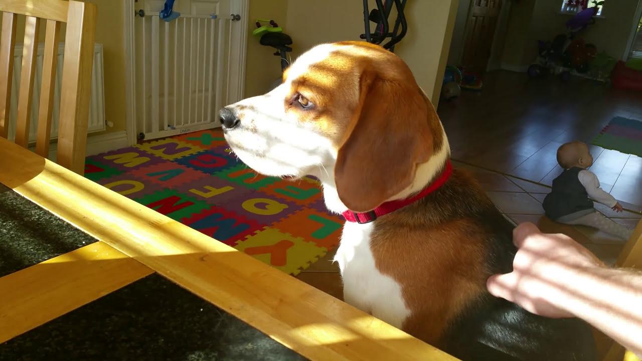 Download Smart Beagle Adorable Dog - maxresdefault  2018_422758  .jpg