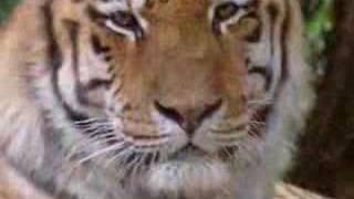 vuclip les tigres