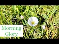 How to Kill Morning Glory / Bindweed in My Lawn