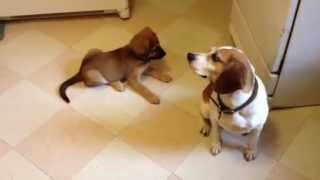 Puppy Playing With A Beagle's Tail