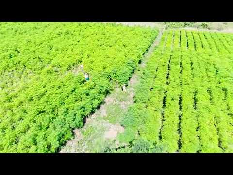 Oku Moringa plantation | ÖKU Moringa | single sourced | carefully grown | gently hand-harvested